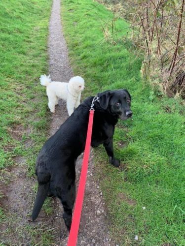 Black Lab and Toy Poodle Dog Walker in Cheddleton