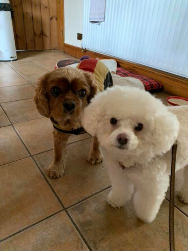 Toy Poodle Fresh Cut Dog Walker in Cheddleton