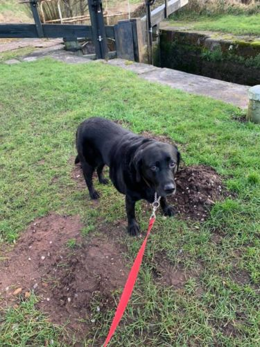 Reluctant Black Lab Dog Walker in Cheddleton